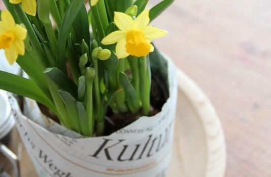 Kultur-Pflanze Narzisse