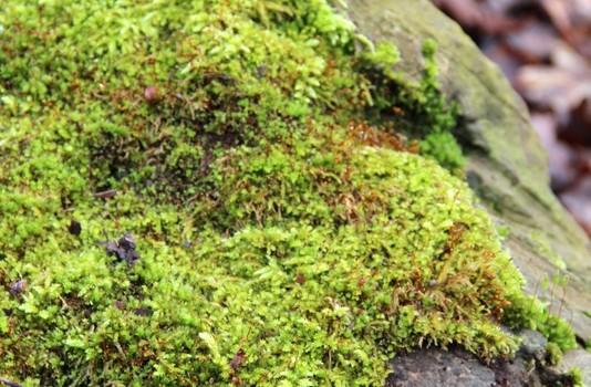 Moos - sattgrün