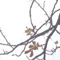 letzte Blätter an der Kastanie - Anfang der Adventszeit